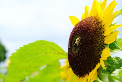 ヒマワリの美味しい密を吸いにきたミツバチ