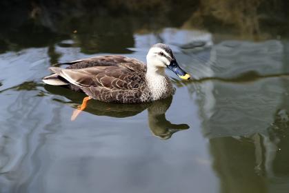 川で泳ぐ鴨 野鳥 水鳥