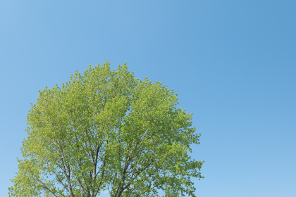 春の青空と新緑の木 4月