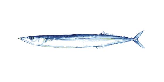 さんま 魚 水彩 イラスト