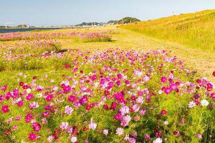 青空の秋晴れに美しく咲く秋桜(日本,福岡県)