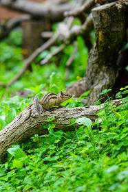 林の中のシマリス