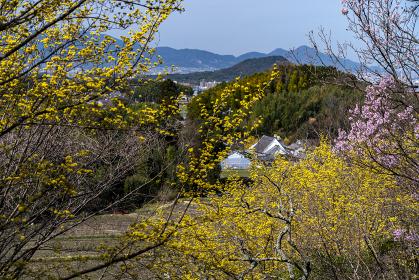 サンシュユ咲く早春の明日香村八釣の里