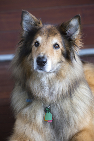 A close-up portrait of collie dog mix lying on wood floor indoor