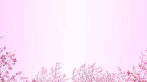 桜の花とピンクの背景。新春、春の催しのバナー背景。暖かさのある広いコピースペース。8kサイズ。