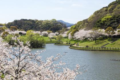 北九州中央公園の桜 福岡県北九州市