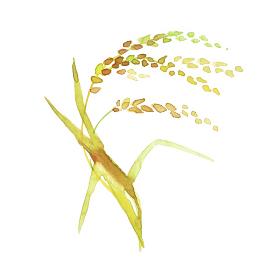 金色の稲穂 米 水彩 イラスト