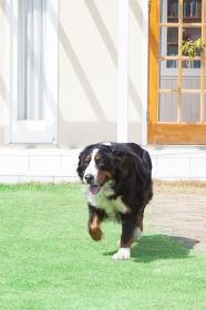 広い庭で遊ぶバーニーズマウンテンドッグ