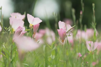 野原の昼咲き月見草 6月