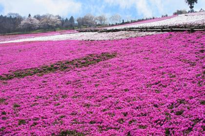 ピンク色のじゅうたん