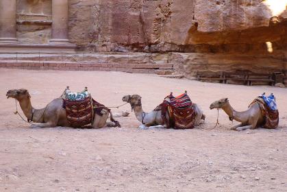 ヨルダン・ペトラ遺跡にてエルハズネ付近に並ぶ複数のラクダ