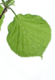 水滴のついた葉
