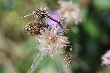 ノアザミの花と綿毛