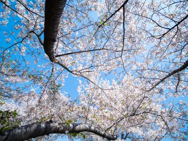 桜が満開の東京都北区赤羽の荒川河川敷 4月
