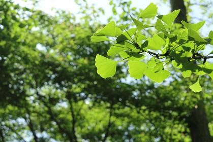 青い銀杏の葉