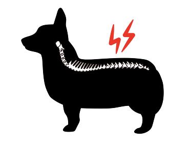 犬の椎間板ヘルニア コルセット コーギーのシルエット