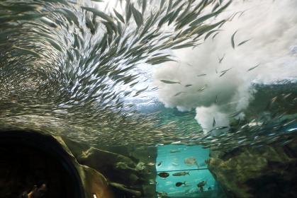 水族館のサーディンラン