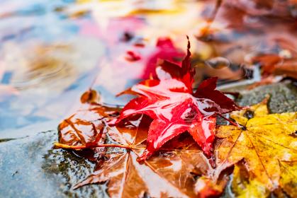 雨に濡れた紅葉の落ち葉