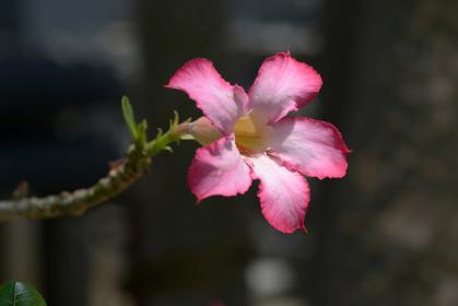 アデニウム 砂漠のバラ