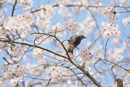桜の枝に止まるヒヨドリ