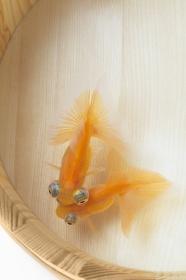 桶の中の金魚