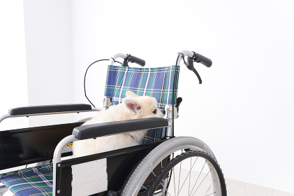 車椅子に乗るかわいい犬