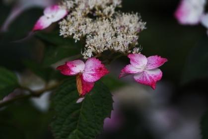 ヤマアジサイ 紅額(ベニガク)の装飾花