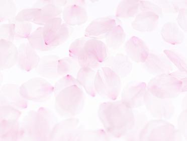 桜の花びら背景