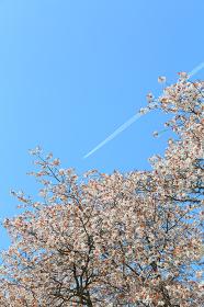 桜の花と青空の飛行機雲