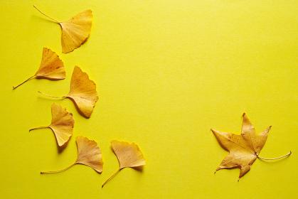 黄色い紙の上に置いた複数の黄色いイチョウの葉と一枚の黄色いカエデの葉。秋のイメージ。