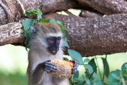 A Vervet monkey has found a fruit and eats it