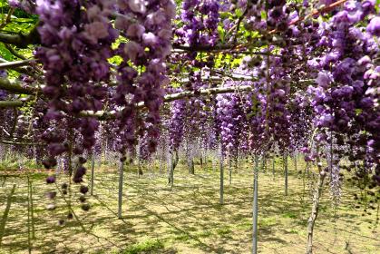 紫色の垂れ下がる可愛い藤の花