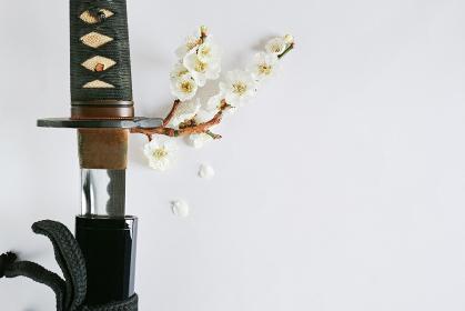 白い背景に少し抜いた日本刀と白い花が咲いた梅の枝