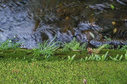 小川の苔の生えた護岸に生える植物