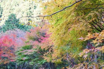 秋の紅葉 鈍川渓谷 ふれあいの森森林館 駐車場付近の紅葉 11月中旬