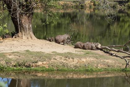 Group of wild capibaras animals on wild atlantic rainforest lake