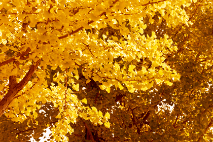 晴れた秋の銀杏の背景