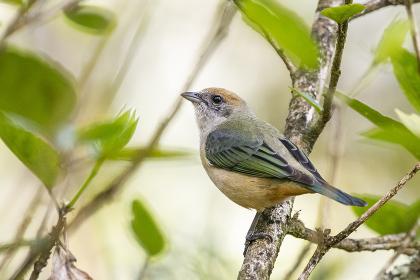 Beautiful brown and orange bird in Atlantic Rainforest vegetation , Penedo, RJ, Brazil