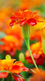 鮮やかなビタミンカラーの花マリーゴールド