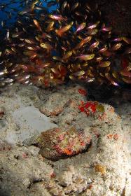 小魚を狙うオニダルマオコゼ