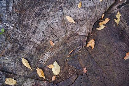 街路樹の切り株の上に散った落葉