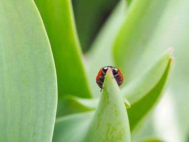 てんとう虫とチューリップの葉