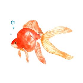金魚 水彩 イラスト