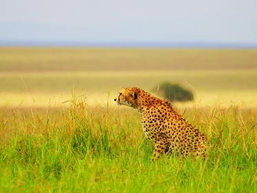 ケニアのマサイマラ国立保護区の獲物を狙うチーター