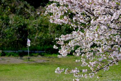 桜とゲートボールの旗
