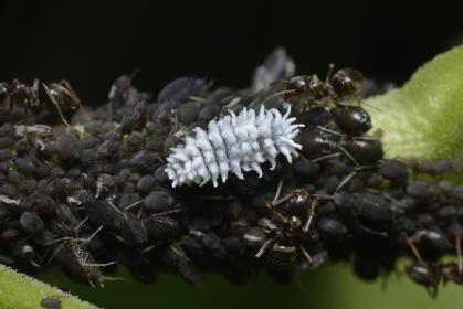 テントウムシの幼虫とアブラムシ