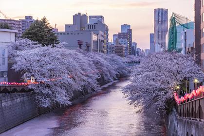 目黒川の夜桜ライトアップ