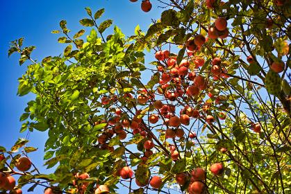 柿の木に生った熟した柿の実