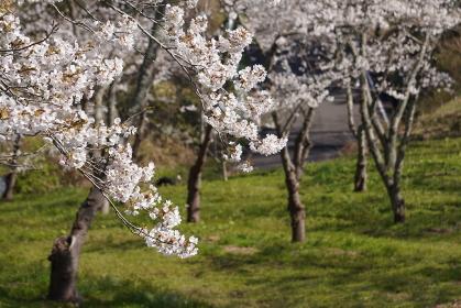 満開の桜並木、宮城県松島町西行戻しの松公園