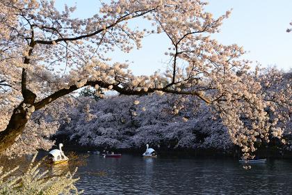花見シーズンの井の頭公園の風景